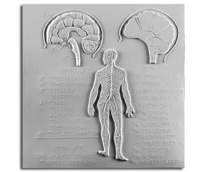 Schema del cervello (I sez.); schema del cervello (II sez.) e sistema nervoso cerebrospinale