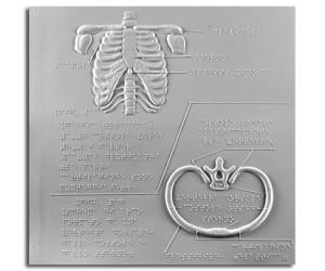 Il corpo umano. Gabbia toracica (schema dell'innesto vertebra-costola)