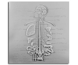 Schema del sistema nervoso del simpatico