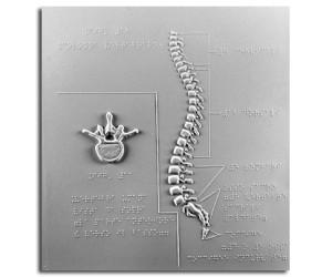 Vertebra e colonna vertebrale