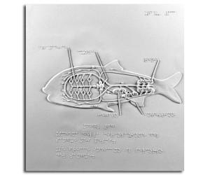 Schema della circolazione del sangue dei pesci
