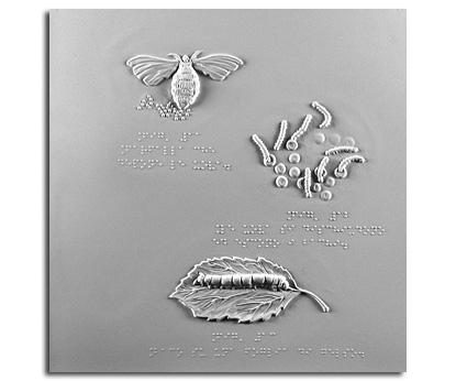Farfalla che depone le uova, le uova si dischiudono ed escono i bachi, baco su una foglia di gelso
