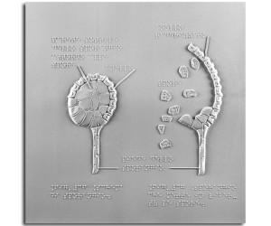 Schema di sporangio e sporangio che libera le spore